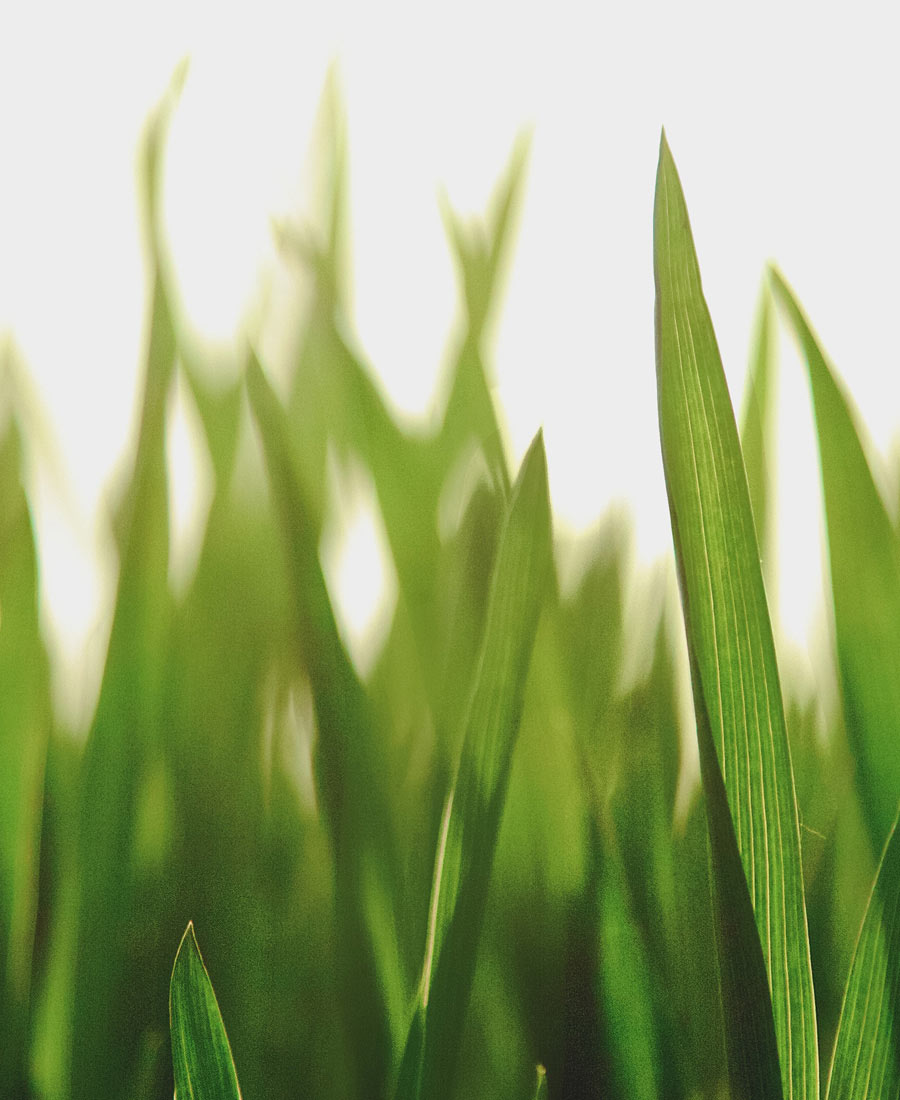 Close-up shot of wheat grass growing in a field.